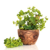 Ladys Mantle Herb. In an olive wood mortar with pestle and leaf and flower sprig, isolated over white background with reflection. Alchemilla vulgaris Stock Images