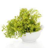 Ladys Mantle Herb Royalty Free Stock Image