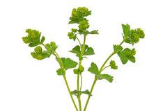 Ladys mantle herb Alchemilla mollis Stock Photo