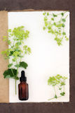 Ladys Mantle Herb Stock Photo