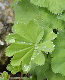 Ladys-mantle Leaves Stock Photo