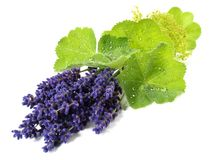 Ladys Mantle Leaves and Lavender - Healthy Nutrition. Ladys Mantle Leaves and Lavender on white Background stock photo