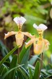 Ladys pantoflowa orchidea Obrazy Stock