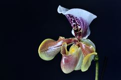 LADYS SLIPPER ORCHID Royalty Free Stock Photos