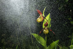 Ladys Slipper Orchid bloom in the pouring rain like snowing. Blossom and water drops like snow. Royalty Free Stock Photo