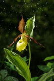 Ladys Slipper Orchid bloom in the rain. Blossom and water drops. Yellow with red petals blooming flower in natural environment. Stock Photography