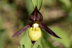 Ladys-slipper orchid Royalty Free Stock Photography