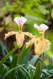 Ladys slipper orchid Stock Images