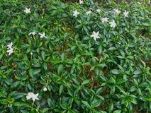 Laef de la flor blanca en el jardín fotos de archivo