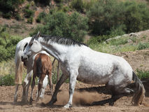 Laeing grey Andalusian mare Stock Photos