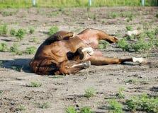 Laeing kobylaka arabski koń w padoku Fotografia Stock