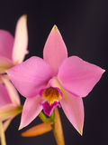 Laelia anceps Royalty Free Stock Photos