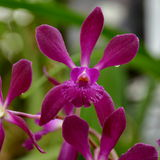 Laelia orchid flower Stock Images