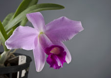 Laelia pumila orchid flower Royalty Free Stock Images