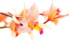 Laeliaorchidee Lizenzfreies Stockfoto