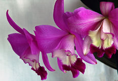 Laeliocattleya Orchid stock image