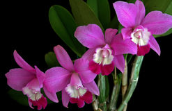 Laeliocattleyaorchidee Royalty-vrije Stock Afbeelding
