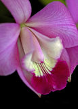 Laeliocattleyaorchidee Royalty-vrije Stock Afbeeldingen