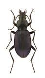 Laemostenus punctatus. A female of Laemostenus punctatus, ground beetle, isolated on a white background royalty free stock photo