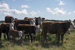 Laesoe wyspy krowy Obrazy Royalty Free
