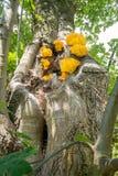 Laetiporus sulphureus kinkietowy grzyb obrazy royalty free