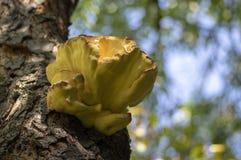 Laetiporus sulphureus mushroom on prunus wooden trunk on brown bark, cluster of beautiful yellow tasty mushrooms. Laetiporus sulphureus mushroom on prunus wooden royalty free stock images