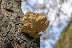 Laetiporus sulphureus mushroom on prunus wooden trunk on brown bark, cluster of beautiful yellow tasty mushrooms in sunlight. Against blue sky stock photos