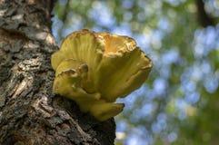 Laetiporus sulphureus mushroom on prunus wooden trunk on brown bark, cluster of beautiful yellow tasty mushrooms. Laetiporus sulphureus mushroom on prunus wooden royalty free stock photography