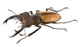 laetuslucanus Arkivbild