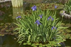 Laevigata της Iris με τα πορφυρά λουλούδια Στοκ Φωτογραφίες