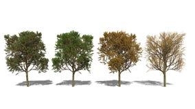 Laevigata «Paul crataegus ερυθρού» (Four Seasons) ελεύθερη απεικόνιση δικαιώματος