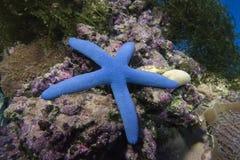 Laevigate blåa seastar Linkia Royaltyfria Bilder