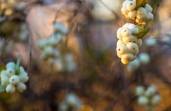 Laevigatus branco do albus do Symphoricarpos das bagas Fotografia de Stock