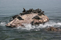Laf Baikal zoogdier Stock Foto's