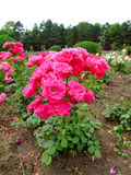 Lafayette Rosa Imagem de Stock
