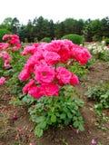 Lafayette Rose Stock Image
