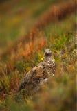 Lagópode dos Alpes no verão Plummage Imagem de Stock