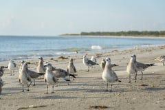 Lag av fåglar som flockas stranden på den västra florida kusten Royaltyfri Foto