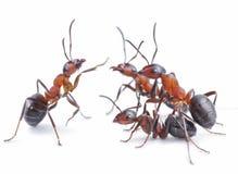 Lag av myror som möter begrepp Royaltyfria Bilder