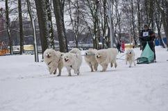 Lag av Samoyedhundkapplöpning som drar släden Royaltyfri Fotografi