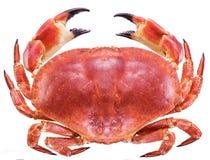 Lagad mat brun krabba eller ätlig krabba royaltyfria bilder