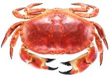 Lagad mat brun krabba eller ätlig krabba arkivfoton