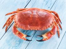 Lagad mat brun krabba eller ätlig krabba som isoleras på den blåa träfliken royaltyfria bilder
