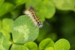 A lagarta Fotografia de Stock