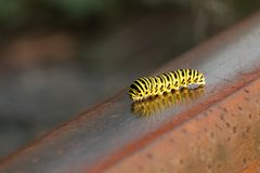 A lagarta amarela do swallowtail rasteja ao longo do trilho oxidado fotos de stock