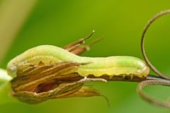 Lagarta bonita que rasteja em um galho Imagem de Stock