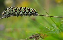 Lagarta colorida, machaon de Papilio, na paisagem natural Imagens de Stock Royalty Free