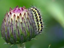 Lagarta da borboleta da família Zygaenidae. Foto de Stock