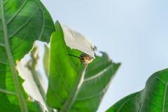 Lagarta da borboleta de monarca na folha fotos de stock