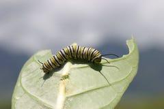 Lagarta da borboleta de monarca (plexippus do Danaus) que come uma folha Imagem de Stock